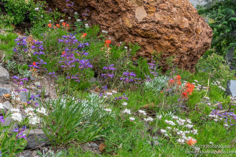 Mt. Shasta, Avalanche Gulch, wildflowers